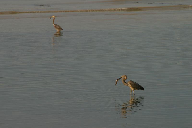Herons having breakfast.