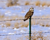 Short-eared Owl Profile