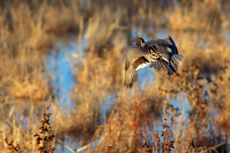 Arc of the Northern Pintail