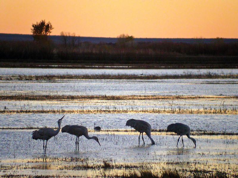 A line of Sanhill Cranes enjoy sunset at Bosque del Apapche.