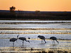 A line of Sanhill Cranes enjoy sunset at Bosque del Apapche.