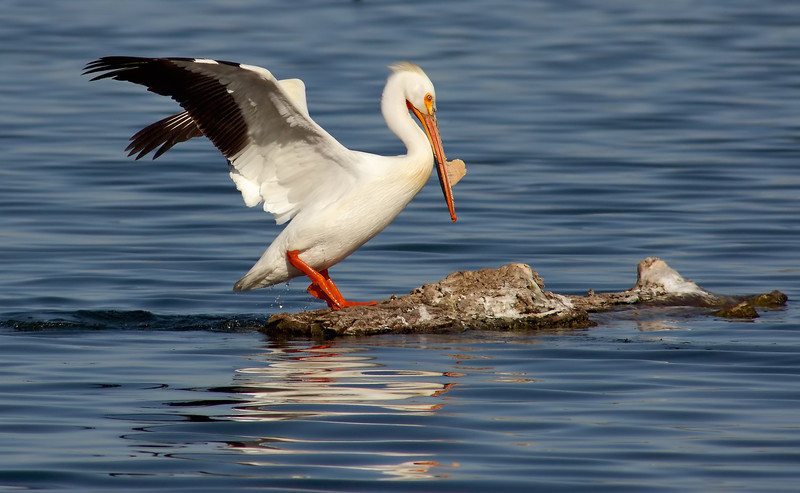 American White Pelican Breeding Plumage