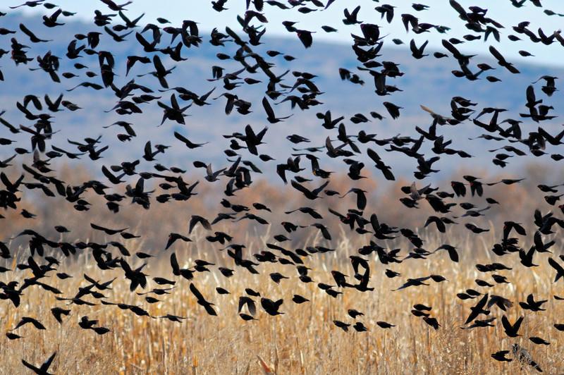 Blackbird Multiplicity