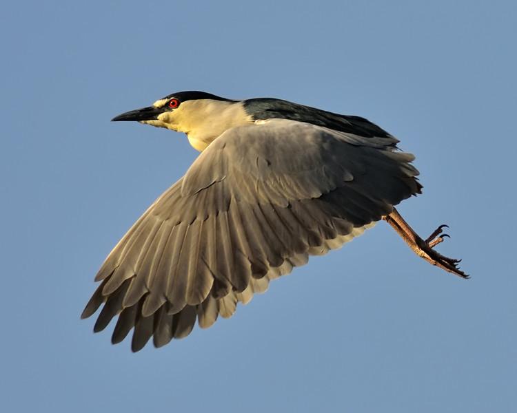 Black-crowned Night Heron Downbeat