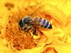 Bee in a Field of Yellow-Orange