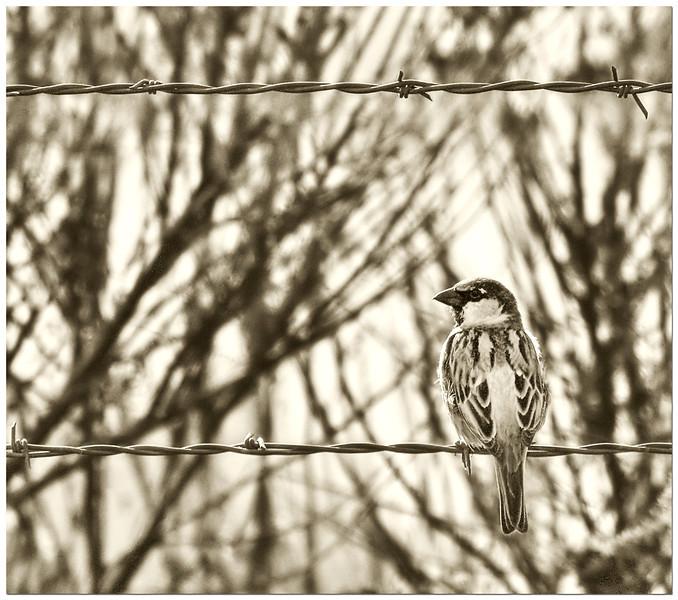 Olde Worlde Sparrow