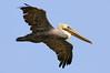 Brown Pelican Flight Lines