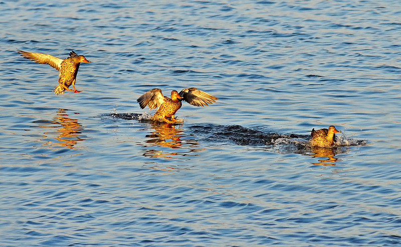 Stages of a Landing Female Northern Shoveler
