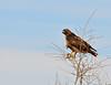 Western Red-Tailed Hawk Portrait