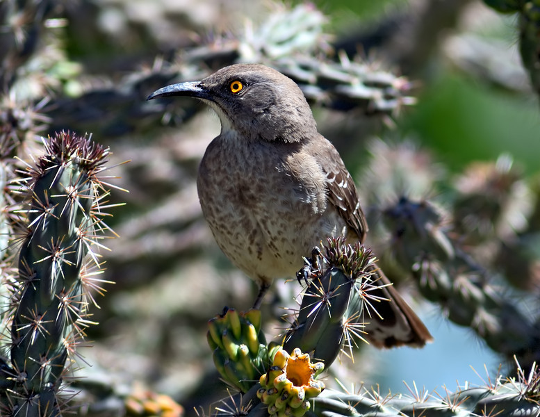 Curve-billed Thrasher on Nature's Concertina Wire