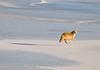 Coyote Levitation