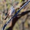 White-crowned Sparrow Batik