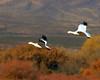 Snow Geese Fall Flight Bokeh