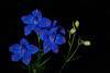 Impossible Blue Delphinium