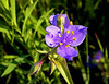 Black Hills Purple Dream