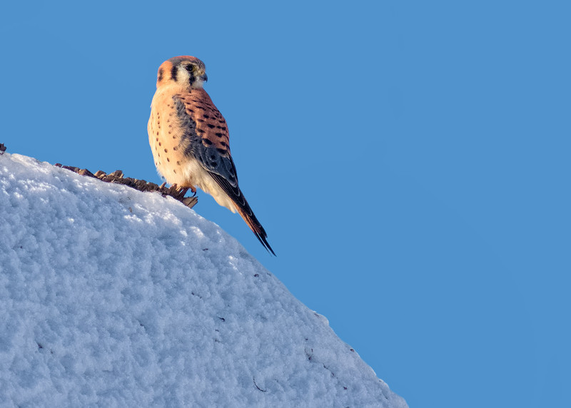 American Kestrel's Last Look at Winter