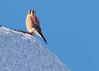 American Kestrel's Last Look at Winter
