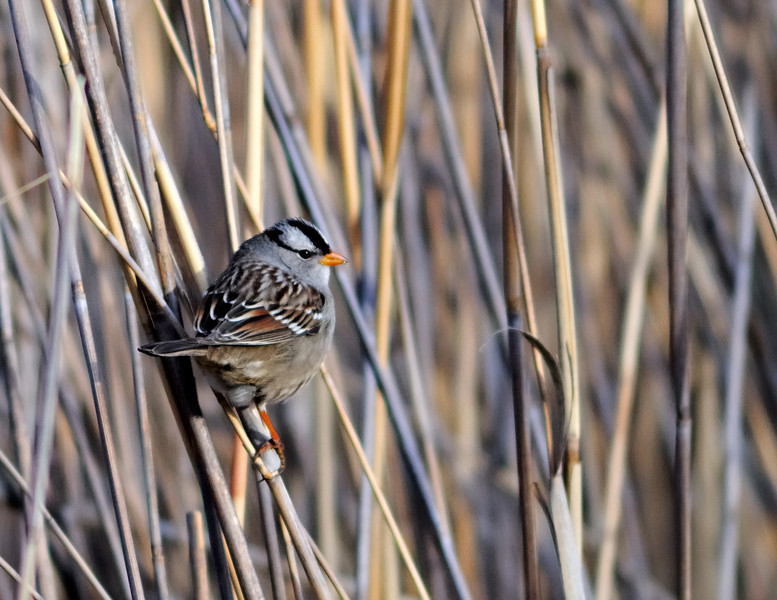 Reed About Sparrows