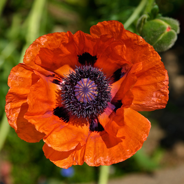 Friday's Flower:  A Popping Poppy at Denver Botanic Gardens