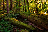 Ancient Mossy Riverside Grove: the Skagit at Newhalem