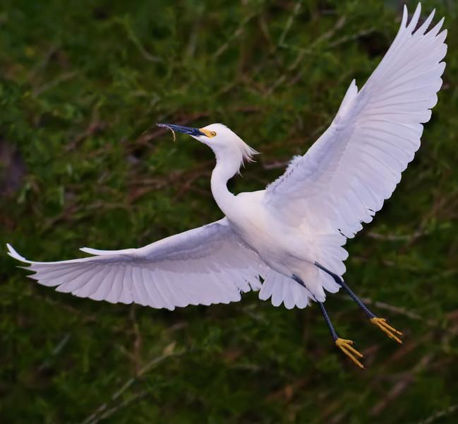 Arc of a Snowy Egret