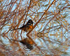 Spotted Towhee Flood