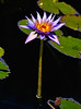 Waterlily Perfection