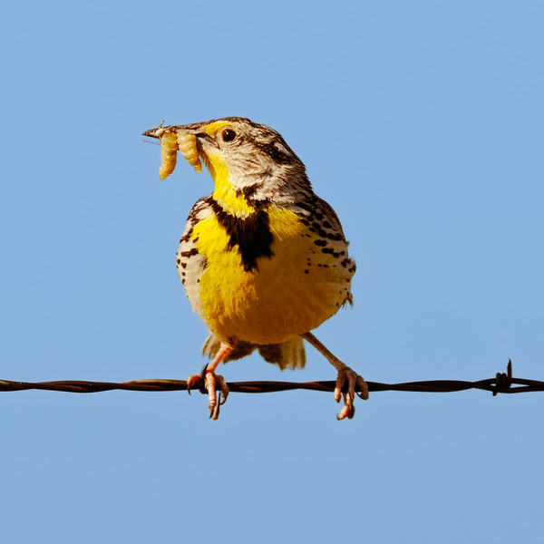 Mealy-Mouthed Meadowlark