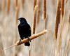 Cattail Perched Red-winged blackbird