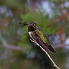 Broad-tailed Hummingbird Bokeh