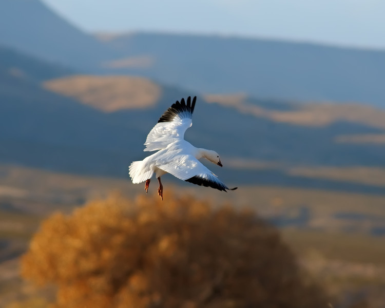 Snow Goose Grace Turning on a Wing