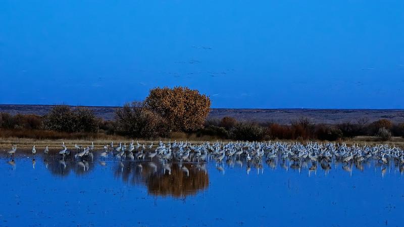 Sandhill Cranes By Moonlight