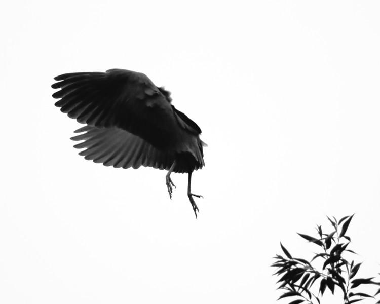 Night Heron Braking into Grace
