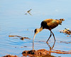 White-faced Ibis Feeds
