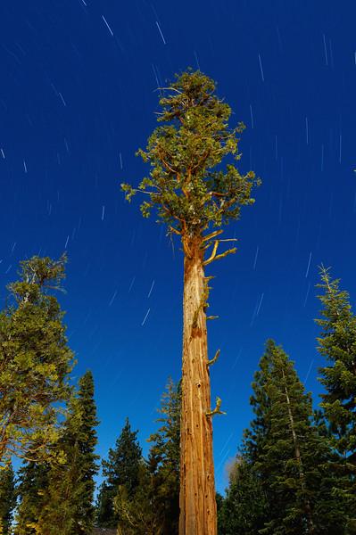 An Ancient Incense Cedar Tree Under Moonlight