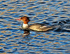 Uncommon Merganser Glass Wake