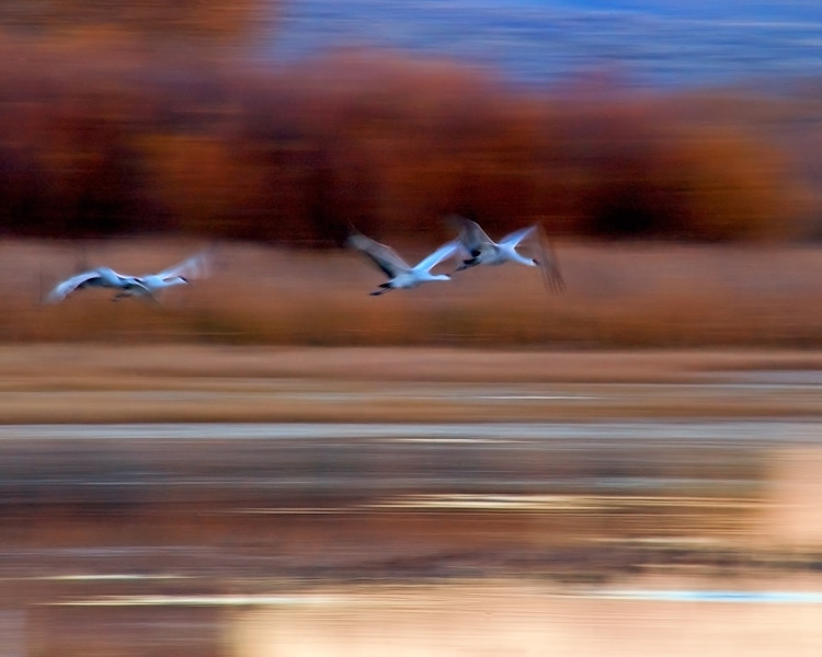 Sandhill Crane Sense of Motion