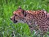 A Cheetah's Grassy Spot