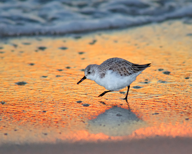 Sanderling Sunset Shuffle