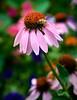 Echinacea Bee Trap