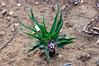 Asclepias uncialis ssp. uncialis view
