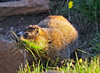 A Yellow-bellied Marmot Morning