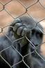 Caged Great Ape