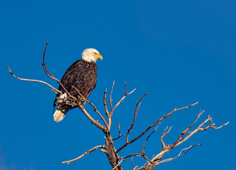 Wintering Bald Eagle Gazing