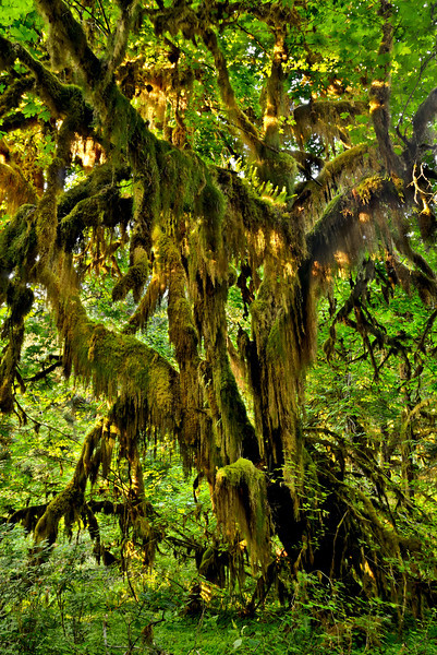 An Epiphytic Episode in the Hoh Rain Forest