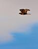 Rough-legged Hawk Flying the Carr Track