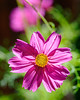 Floral Friday Glowing Cosmos