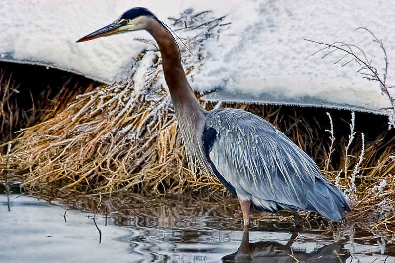 Great Brr Heron