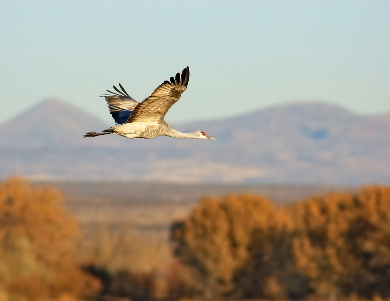 Sandhill Crane Fall Flight