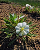 Arkansas Valley Evening Primrose